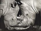 Portrait of Africa № 19. Rhinocerotidae. Lake Nakuru. 2002. Cotton paper, pigment print.77х60